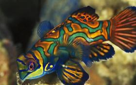 Обои бабочка, рыбка, разноцветная, мандаринка