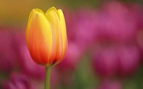 Картинка цветок, природа, луг, тюльпаны, flower, nature, water
