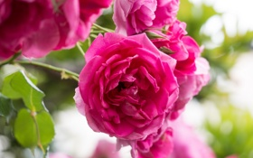 Обои макро, роза, розы, лепестки