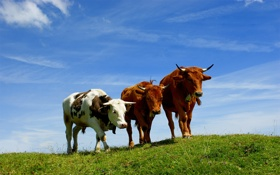 Обои коровы, рога, небо, фото, animals, трава, горы