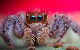 Обои глаза, фон, паук, волосики, джампинг