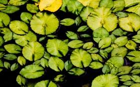 Картинка зелень, листья, озеро, лилия