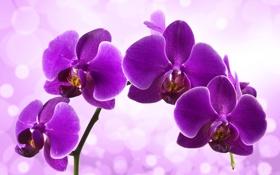 Обои цветение, сиреневая, орхидея, цветы