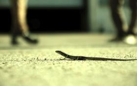 Картинка дорога, ящерица, хвост, животное