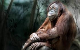 Картинка раздумье, чувства, орангутанг