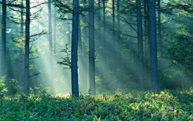 Картинка лес, лето, солнце, лучи, туман, Природа, утро