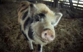 Обои animals, pig, сарай