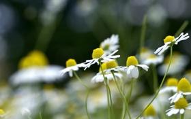Картинка лето, трава, макро, цветы, стебли, поляна, ромашки