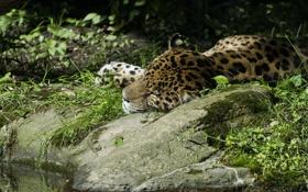 Картинка заросли, отдых, сон, хищник, ягуар, дикая кошка