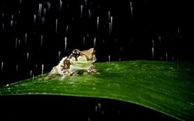 Обои дождь, лист, лягушка