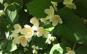 Обои цветы, лепестки, жасмин, чубушник