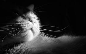Картинка кошка, кот, усы, шерсть, нос, мордочка, черно-белое