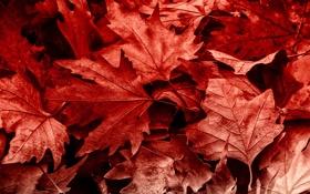 Обои осень, листья, макро