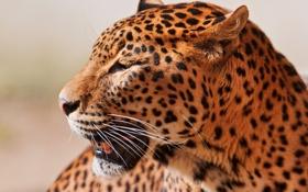 Картинка усы, взгляд, морда, хищник, леопард, профиль