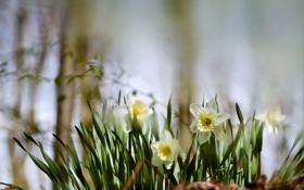 Картинка цветы, весна, размытость, нарциссы