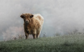 Обои трава, скот, бычок, иней, холод, мороз, пастбище