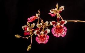 Обои розовый, орхидеи, лепестки, яркий, ветка, темный фон, пестрый