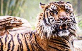 Обои зверь, тигр, рычание