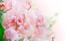 Обои цветы, листики, розовые гвоздики
