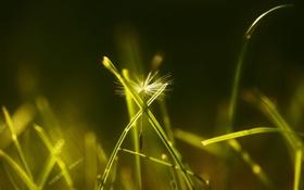 Картинка макро, трава, одуванчик