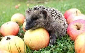 Обои ёжик, яблоки