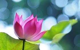 Обои листья, блики, розовый, лотос