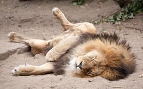 Картинка песок, кошка, отдых, сон, лев, грива