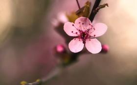 Картинка цветок, макро, вишня, дерево, розовый, растение, ветка