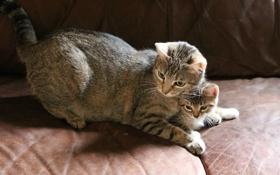 Картинка кошка, котенок, диван, серые