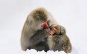 Обои обезьяны, Япония, остров Якусима, шерсть, японский макак