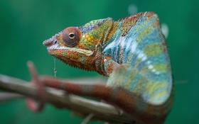 Обои хамелеон, ветка, ящерица, разноцветный