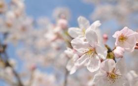 Картинка макро, цветы, вишня, ветви, весна, лепестки, сакура