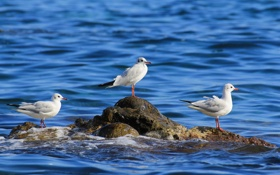 Обои море, птицы, камень, чайки, трио