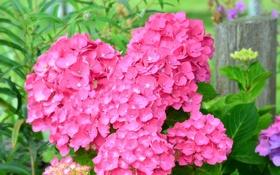 Картинка цветы, листва, цветение, flowers, гортензия, bloom, hydrangea