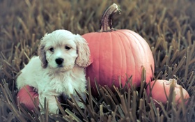 Картинка щенок, тыква, собака