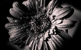 Картинка Цветок, лепестки, черно-белое, распустившийся