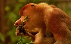 Обои природа, фон, A male proboscis monkey