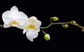 Обои бутоны, ветка, цветы