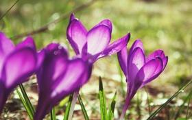 Обои капли, весна, блики, сиреневые, растения, крокусы, фиолетовые