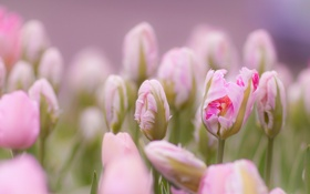 Обои тюльпаны, цветы, бутоны, нежность