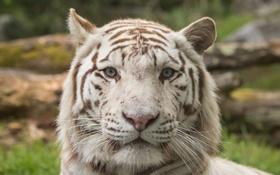Обои кошка, морда, белый тигр