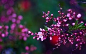 Обои ветка, весна, Asetskaya, Purple Spring
