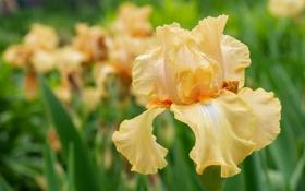 Картинка цветок, макро, желтый, лепестки, ирис