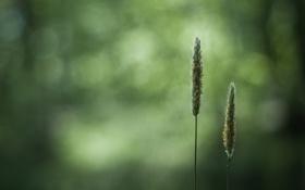 Обои пшеница, поле, трава, природа, обои, колоски, колосья
