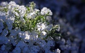Картинка солнце, макро, цветы, тень, белые, мелкие