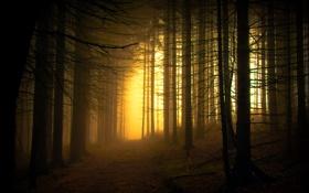 Картинка природа, елки, лес, дремучий
