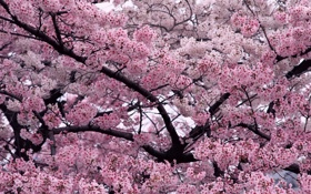 Обои цветы, вишни, дерево