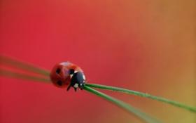 Картинка трава, растение, божья коровка, насекомое