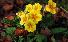 Обои цветы, земля, весна, желтые, примула