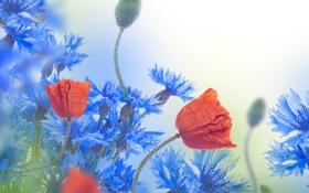 Обои цветы, маки, васильки